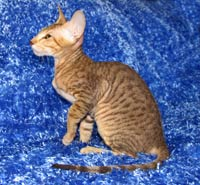 peterbald kitten cat PD profile photo