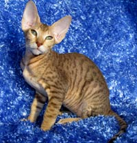 Peterbald cat photo hairless not a sphynx