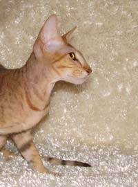 Flock coat Russian Peterbald kitten - future stud cat