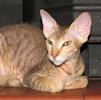 Peterbald male kitten