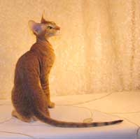 velour coat peterbald cat