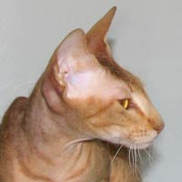 Peterbald profile