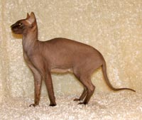 chocolate peterbald queen