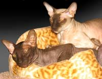 chocolate and chocolate point peterbald cats