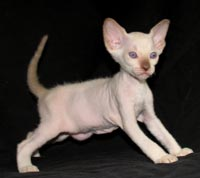 Peterbald kitten - suede / shammy coat male chocolate point looks Siamese