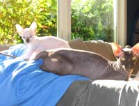 peterbald kitten photo chocolate point color like siamese