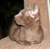 Peterbald kitten - lilac straight coat - will look like an Oriental Short Hair Cat