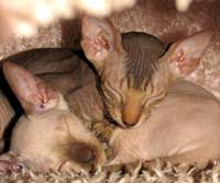 Peterbald kitten will become hairless cat - chocolate point male suede coat or shammy coat