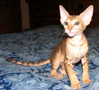 Peterbald male stud - face picture