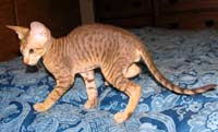 Peterbald cat body shot - spots!