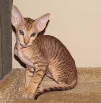 Green eyed chocolate spotted tabby peterbald stud