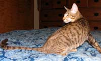 Oriental Short Hair Male Cat