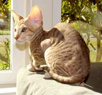 hairless cat peterbald kitten tabby cat