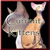 Peterbald Kittens - Available hairless and coated kittens and young adult cats