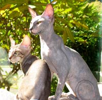 Two Peterbald kittens hairless cats suede shammy coat