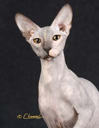 hairless cat not sphynx - Peterbald!