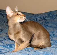 Oriental Short Hair cat Profile