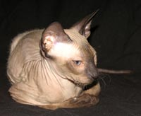 Peterbald kitten -  seal point male shammy / suede coat - similar color to a siamese cat