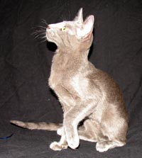straight coated male peterbald kitten - coat similar to an oriental short hair