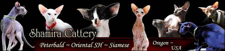 Pd Peterbald OSH ORI Oriental Short Hair Cats cat Kittens kitten