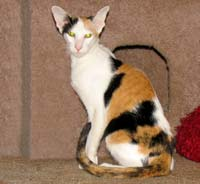 Calico (tortie and white) OSH queen