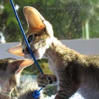 Brown ticked tabby, brush coated, Peterbald female kitten