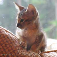 straight coated tabby peterbald kitten