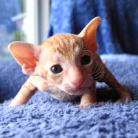 1 month old red tabby peterbald kitten