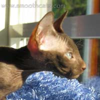 Peterbald 2 plane profile, strong chin in line with the nose