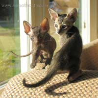 Straight and brush coat Peterbald kittens