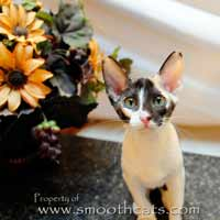 Peterbald PD PBD Chocolate Tortie with White / Calico kitten from Shamira Cattery