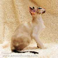 Seal point and white or seal tortie point and white peterbald brush coat female kitten cat