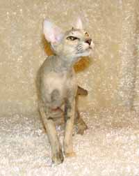 OSH Oreintal Short Hair Cat