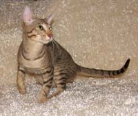 OSH breeder oriental short hair cat kitten