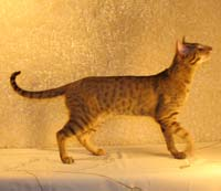 Oriental Short Hair male OSH chocolate spotted mackeral tabby