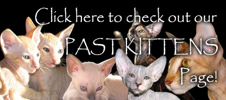 Click here to check out the Past Peterbald and Oriental Kittens from Shamira Cattery